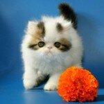 Выбираем породистого котенка