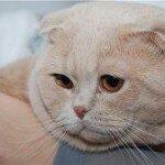 Паспорт для кошки