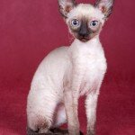 71820610_1299708303_cornishrex431x300