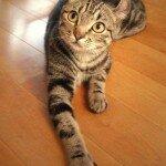 American_curl_kitten