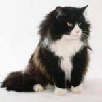 Black_and_white_Norwegian_Forest_Cat