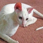 Cornish Rex2