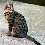 Egyptian_Mau_Bronze