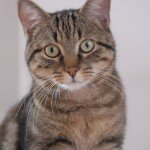 European_shorthair_portrait_Quincy