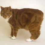 Manx_Cats