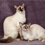 balinese-cats-6