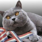 british-short-hair-cats