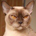 burmese-cat-1