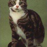 gatos-american-wirehair