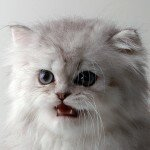 persian-cat-12