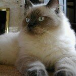the-ragdoll-cat1