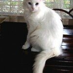 turkish-angora