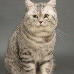 Характер кошки